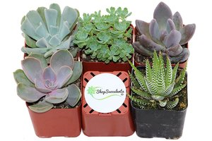 Shop Succulents