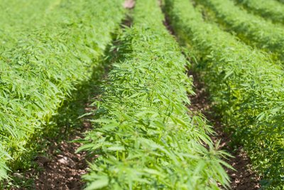 How Hemp Legalization Could Be a Good Thing for Small Businesses