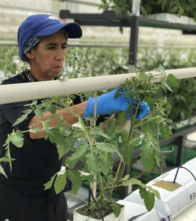 How Our Next-Gen Greenhouse Puts Home-Grown Taste Back in Tomatoes